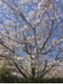 ※ 桜 ※