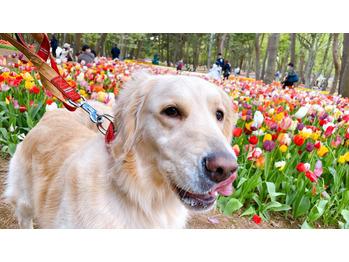 チューリップと愛犬。川村Asami_20210417_2