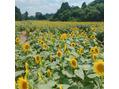 夏にキレイなひまわり畑&夏にオススメのルーセンス