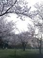 桜とラーメン♪