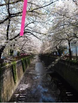初♪目黒川_20170414_1
