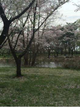 桜part2【B-united 銀座 豊洲 勝どき】<理容室>