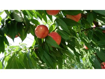 夏の果物_20180809_1