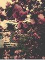 ☆八重桜☆