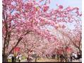 桜の通り抜け☆