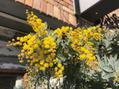 ミモザの花☆