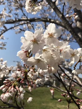 【星野】満開の桜♪_20180326_1