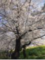エクシーオザワ(EXY OZAWA)早桜。