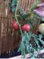 トマト収穫祭☆