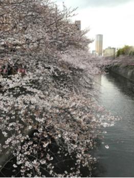 平成最後の桜☆_20190403_1