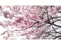 新宿御苑のお花見 桜の開花状況2017