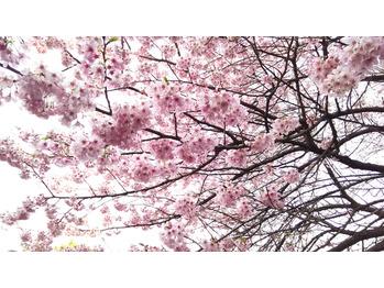 新宿御苑のお花見 桜の開花状況2017 _20170401_1