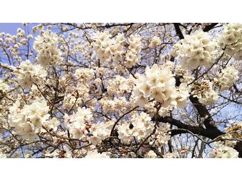 新宿御苑のお花見 桜の開花状況2017 _20170401_2