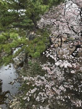 桜いろいろ〜_20170406_3