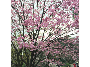 桜咲く_20170329_2