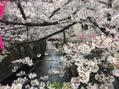 桜と桜色シャンプー♪