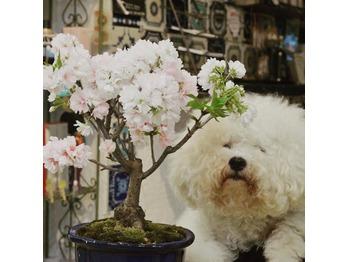 桜 満開! BOBの頭は8分咲き_20160326_1