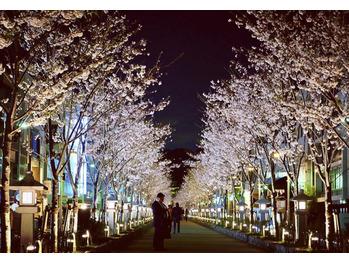 段葛の桜_20190413_2