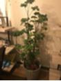 家の観葉植物ちゃん3