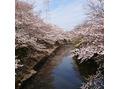満開の桜並木の恩田川(*´∀`)♪