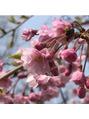【桜の癒し効果・美容効果】