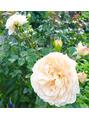 20万坪のバラの楽園