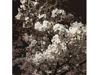 夜桜♪_20190411_1