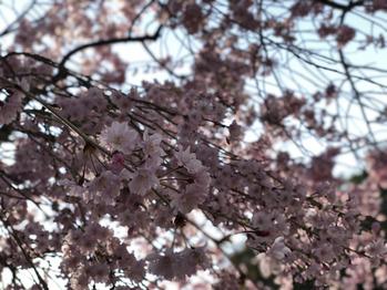 またまたお花見_20180402_1