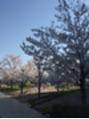 桜満開ですねー♪