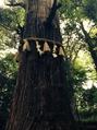 高尾山の杉の木