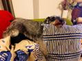 うちの愛犬、クロエの変な寝方