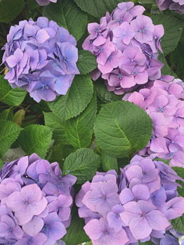 *紫陽花*_20210714_1