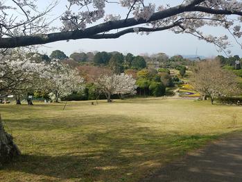 桜を楽しんできました_20180403_1