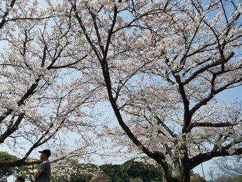 桜を楽しんできました_20180403_2