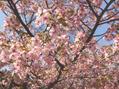 ☆早咲きの桜/山中☆