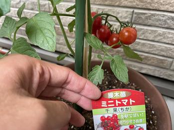 家庭菜園と我が家のトイプードル★_20210708_2