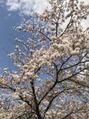 桜咲きましたー