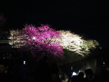 いい桜でした_20170412_1