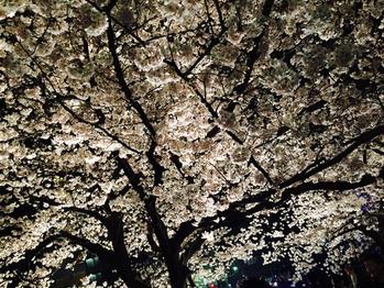 いい桜でした_20170412_2