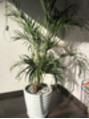 キャナリーの植物の紹介