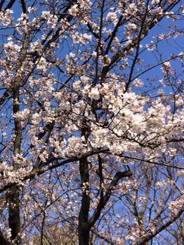 桜(^^♪_20170404_1