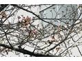 そろそろ桜の季節ですね!