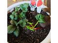 イチゴ植えました。
