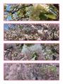 桜サクラさくら!!