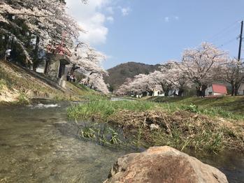 観音寺川桜_20180424_1