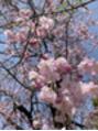 しだれ桜と、新緑カラー