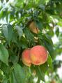 桃と美容と健康