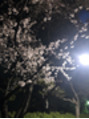 グッドモーニングプリム(Good Morning PRIME)夜桜