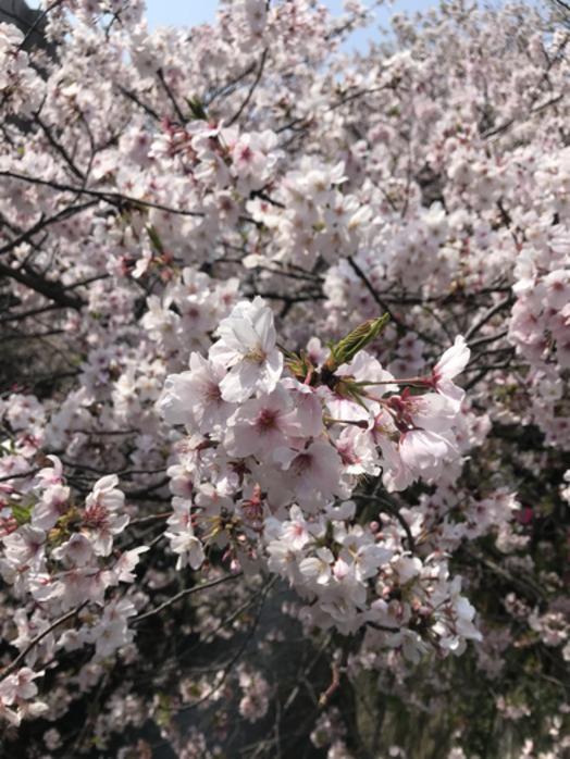 中目黒の桜_20190412_1