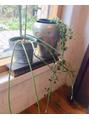 *セロペギアと言う名の植物